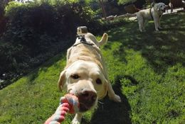 Gopro Fetch (Dog Harness, koirakiinnitys)